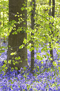 Color Purple Prints - Beech Trees With Bluebells In Spring Print by Cornelia Doerr