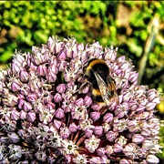 Insect Photos - Beehdr #bee #garden #nature #summer by Keith  Greener