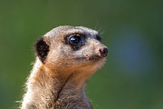Meerkat Digital Art Posters - Been Diggin Poster by Julie L Hoddinott