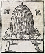 Insects Artwork Photo Posters - Bees And Beehive, 17th Century Artwork Poster by Middle Temple Library