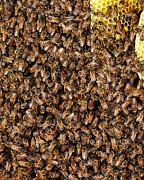 Bees Bees Bees Print by Kelley King