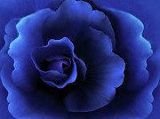 Midnight Blue Prints - Begonia Floral Dark Secrets Print by Jennie Marie Schell