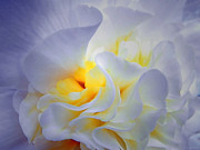 Flower Macro Prints - Begonia Shadows Print by Lianne Schneider
