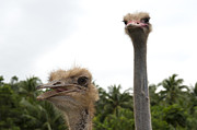 Ostrich Photo Framed Prints - Behave Framed Print by Paul W Sharpe Aka Wizard of Wonders