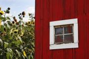 White Barn Photos - Behind the Barn by Rebecca Cozart