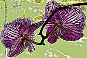 Fushia Metal Prints - Behind the Orchids Metal Print by Gwyn Newcombe
