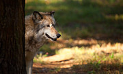 Wolf Photos - Behind the Tree by Karol  Livote