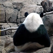 Panda Bears Photos - Being Ignored by a Panda by LeeAnn McLaneGoetz McLaneGoetzStudioLLCcom
