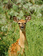 Whitetailed Deer Posters - Being Watched Poster by Ernie Echols