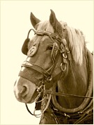 Belgian Draft Horse Photos - Belgian Draft by Angela Marks