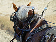Belgian Draft Horse Photos - Belgian Draft by Carolyn Marchetti