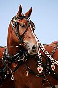 Belgian Draft Horse Photos - Belgian Portrait by Betsy LaMere