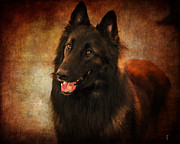 Dog Show Posters - Belgian Tervuren Shepherd Poster by Jai Johnson