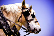 Belgian Draft Horse Photos - Belgians by Jim and Emily Bush