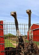 Ostrich Photos - Bell and Beau by Joanne Coyle