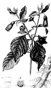 Crone Goddess Metal Prints - Belladonna, Alchemy Plant Metal Print by Science Source