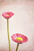 Bellis Prints - Bellis Print by Iris Lehnhardt