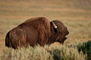 Bufffalo Photos - Bellowing Bull Bison by D Robert Franz
