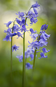 Hyacinthoides Non-scripta Posters - Bells of Blue Poster by Jacky Parker