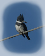 Belted Prints - Belted Kingfisher 2 Print by Ernie Echols