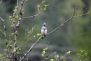Mile One Framed Prints - Belted Kingfisher at One mile lake Pemberton Framed Print by Pierre Leclerc