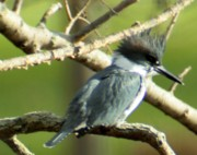 Belted Prints - Belted Kingfisher Print by Christopher Kirby