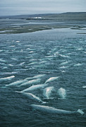Fish Rubbing Prints - Beluga Whales Moulting Print by Doug Allan