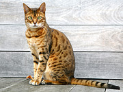 Hardwood Floor Prints - Bengal Cat Sitting On Weathered Deck Print by Itsabreeze Photography