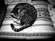 Black And White Photography Pyrography - Bengal Catnap by Fareeha Khawaja