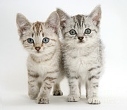 Brown Tabby Posters - Bengal-cross Kittens Poster by Jane Burton