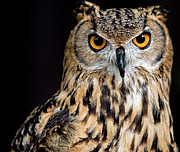 Camera Posters - Bengal Eagle Owl Stare Poster by Andrew JK Tan