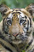 Endangered Cat Posters - Bengal Tiger 1.5 Year Old Cub Poster by Suzi Eszterhas