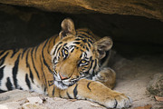 Eye Contact Photos - Bengal Tiger Cub Resting In Cave by Theo Allofs
