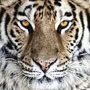 Siberian Tiger Posters - Bengal Tiger Eyes Poster by Tom Mc Nemar