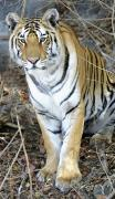 The Tiger Metal Prints - Bengal Tiger In Pench National Park Metal Print by Axiom Photographic