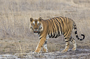 Endangered Cat Posters - Bengal Tiger Male Bandhavgarh National Poster by Suzi Eszterhas