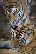 Bengal Tiger Panthera Tigris Tigris 17 Print by Theo Allofs