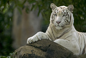 Cats Resting Prints - Bengal Tiger Panthera Tigris Tigris Print by Cyril Ruoso
