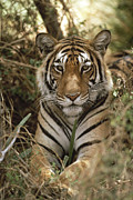 Animalsandearth Photos - Bengal Tiger Panthera Tigris Tigris by Shin Yoshino