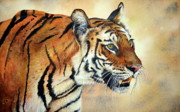 Watercolour Paintings - Bengal Tiger by Paul Dene Marlor