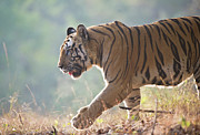 The Tiger Metal Prints - Bengal Tiger Metal Print by Richard Packwood