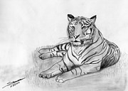 Pencil Sketch Posters - Bengal Tiger Poster by Shashi Kumar
