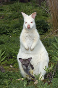 Wallaby Photos - Bennetts Wallaby by Tony Camacho