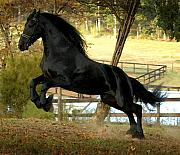 Friesian Posters - Bente Feeling His Oats Poster by Alicia Frese Klenk