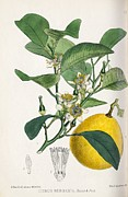 Medicinal Plants Framed Prints - Bergamot Orange, 19th Century Framed Print by King