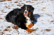Bernese Photos - Bernese Mountain Dog Enjoys the Snow and Sunshine  by Gary Whitton