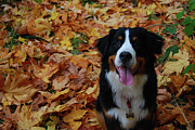 Berner Photos - Bernese Mountain Dog in Autumn by Dan Cornford