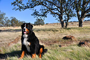 Bernese Photos - Bernese Mountain Dog in California Chaparral by Gary Whitton