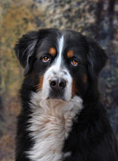 Bernese Mountain Dog Posters - Bernese Mountain Dog Poster by Julie L Hoddinott
