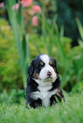 Veterinary Prints - Bernese Mountain Dog puppy portrait Print by Waldek Dabrowski
